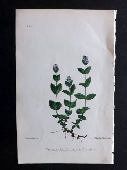 Hogg & Johnson 1860's Hand Col Botanical Print. Alpine Speedwell 330